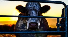 Cowspiracy: Kritik zur Umweltdokumentation (DVD)